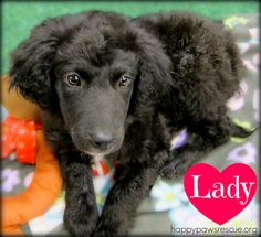Adoptable spaniel/lab mix puppy in central NJ. Lady is a friendly, cuddly puppy! This playful little gal is spayed, vaccinated, microchipped, and chock full of extra fun and love! Lady would love nothing more than to be able to grow up into your family. She can't wait to learn all of the things a puppy needs to know to be a happy adult dog. Lady was born in November 2013. Have you fallen in love with her yet? happypawsrescue.org