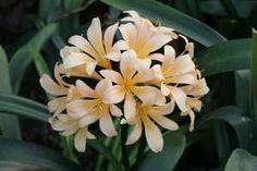 Clivia miniata, 'Pastel' Seed Catalogs, Rare Plants, Seeds, Lily, Flowers, Irises, Gardens, Shop, Iris