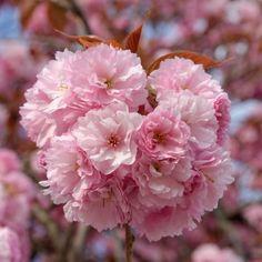 Cerejeira do Japão_ prunus serrulata kanzan Beautiful Flowers Pictures, Flower Pictures, Love Flowers, Spring Flowers, Pink Blossom, Blossom Flower, Cherry Blossom, Ikebana, Cherry Tree Tattoos