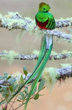 Quetzal - Centroamérica