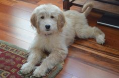Ella golden retriever poodle