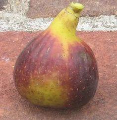 Basic Fig Flavors, Pulp & Skin Colors – Mountain Figs Growing Fig Trees, Fig Varieties, Berries, Fruit, Mountain, Skin Colors, Diversity, Figs, Bury