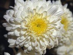 White Chrysanthemum Flower Seeds 50 Stratisfied Seeds - http://supplies.myraisedbedgarden.net/seeds-bulbs-plants/flowers/a-d/chrysanthemums/white-chrysanthemum-flower-seeds-50-stratisfied-seeds/