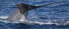 Blue Whale Tail - Blue Whale Watching