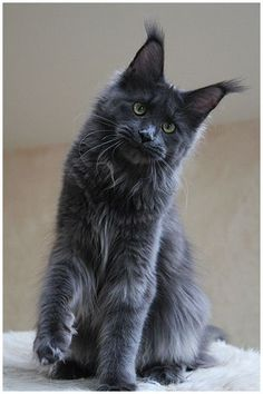 Milky way http://www.mainecoonguide.com/maine-coon-temperament/