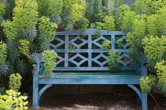 The periwinkle blue bench surrounded by chartreuse blooms of Euphorbia.