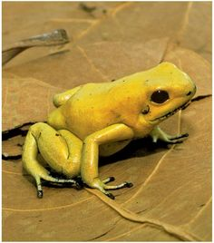 Golden Poison Dart Frog | ok so he is Poison he is still the best little frog ,and I LOVE FROGS!!!!!! Most Poisonous Frog, Amazing Frog, Poison Dart Frogs, Golden Dart Frog, Green Frog, Frog And Toad, Protruding Eyes, Reptiles And Amphibians, Venom
