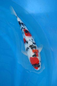1000 images about koi fish showa on pinterest koi for Rare koi colors