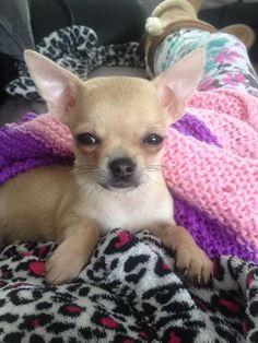 Chihuahua r sweeties