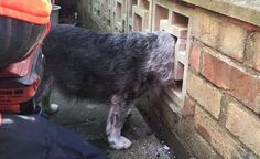 Curiosity got the better of Billy the terrier, whose head became lodged when he peered through a wall. Animal Rescue, Terrier, Dog, Pets, Curiosity, Cambridge, Wall, Animals, Diy Dog