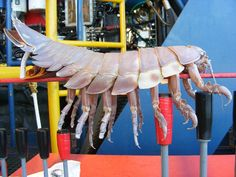 Cthulhu's Pet? Giant Isopod (2.5 Feet!) Found Attached To Underwater Robot