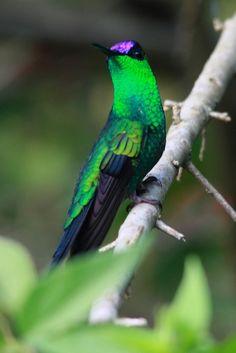 Foto beija-flor-de-fronte-violeta (Thalurania glaucopis) por Mauro Regalado Soares   Wiki Aves - A Enciclopédia das Aves do Brasil