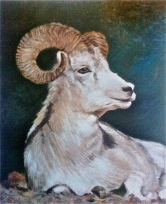 Dall's Sheep -pastel on paper - prints available