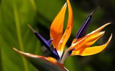 Każdy kto miał okazję podziwiać kwiaty strelicji królewskiej, najprawdopodobniej uznał je za niebywale egzotyczne.