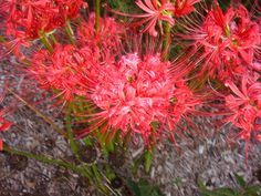 """Lycoris squamigera are often called """"surprise lilies"""" or """"naked ..."""