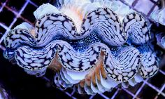 This clam is mostly Tridacna squamosa but the blue speckled inner mantle is more often seen in Crocea and Maxima clams Ocean Aquarium, Saltwater Aquarium Fish, Saltwater Tank, Marine Aquarium, Poisson Mandarin, Marine Fish Tanks, Ocean Creatures, Beautiful Ocean, Colorful Fish