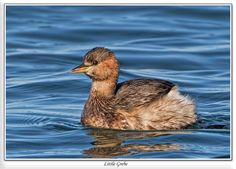 Little Grebe (Tachybaptus ruficollis) in Winter plumage - A grebe is a member of the order Podicipediformes & the only type of bird associated with this order. They're widely distributed freshwater diving birds, some of which visit the sea when migrating & in winter. This order contains only a single family, the Podicipedidae, containing 22 species in 6 extant genera.Recent molecular studies & morphological evidence strongly supports a relationship between flamingos & grebes.