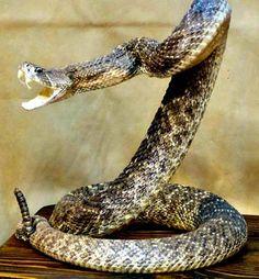 rattlesnake pictures | Crotalus Horridus (Rattlesnake)