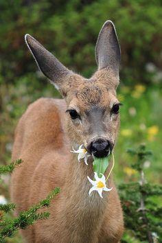 munching on wildflowers, Mount Rainier National Park, WA