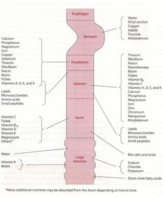 GI Tract nutrient absorption