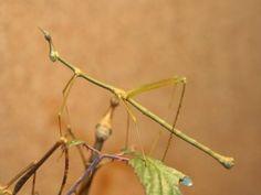 Un insecto palo