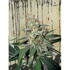 Carnival - a super strong sativa with 23% of THC and more http://www.ministryofcannabis.com/feminized-cannabis-seeds/carnival-feminized