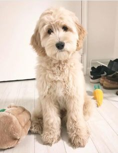 Most recent Absolutely Free dogs and puppies labradoodle Style Accomplish you like your pet dog? Obviously, people do. Proper puppy caution plus coaching will assure both y Goldendoodle Haircuts, Goldendoodle Grooming, Australian Labradoodle Puppies, Yorkshire Terrier Puppies, Dog Grooming, Austrailian Labradoodle, Golden Labradoodle, Standard Goldendoodle, Mini Goldendoodle