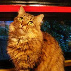 CAT / photographie / Main Coon / Pet / Photo par JeweledDimensions  https://www.etsy.com/fr/listing/242298152/cat-photographie-main-coon-pet-photo