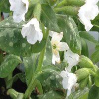 Pulmonaria officinalis 'Sissinghurst White' (longkruid)