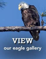 LIVE Eagle Cam - see an eagle family in real time. You'll also find lots of interesting videos of earlier eagle activities, plus tons of information about eagles on the site too. (Bonus: THERE ARE NO ADS ON THIS WEBSITE! Yay!) Enjoy!