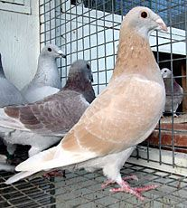 Yellow Homing Pigeons