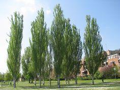 populus alba pyramidalis