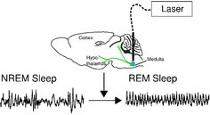 laser triggers an optogenetic switch in medulla of a sleeping mouse