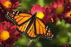 #Orange Drift #Monarch #Butterfly is a #colorful fall #photograph of a beautiful monarch butterfly feeding on red chrysanthemum #flowers. This piece is one from my collection of fine #art butterflies with...