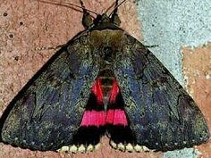 Catocala cara © François Hogue Darling Underwing Moth