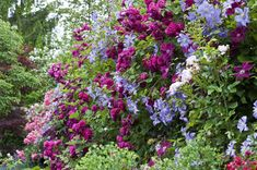 https://flic.kr/p/9RgMm1 | Old and modern ramblers with a bunch of Clematis | The most prominent rose here is 'Geschwinds Schönste' , an old cultivar. It flowers only once, but quite exuberantly. The blue clematis is 'Prince Charles', on the right you can spot two or three flowers of 'Westerplatte', a Polish cultivar. We train the ramblers and climbers along a wall with a fence on top of it.