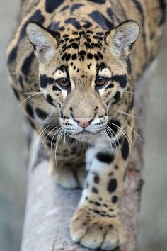 Clouded Leopard, one of the largest carnivores in Borneo Big Cats, Cats And Kittens, Cute Cats, Animals And Pets, Baby Animals, Cute Animals, Beautiful Cats, Animals Beautiful, Majestic Animals
