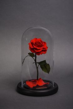 Forever rose London- Bella means beautiful in Italian. The Bella mini is inspired by forever roses famous Bella. Created for those smaller spaces. INCLUDES A SINGLE STEM OF OUR GRAND FOREVER ROSES INSIDE A 30 cm CLEAR GLASS DOME WITH A BLACK WOODEN BASE TOPPED WITH ROSE PETALS. Available in 18 different colors Forever Roses are 100 % natural and live forever when protected in a glass dome without the need of water or sunlight and if unprotected live up to three years.