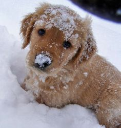 golden retriever puppy <3.