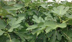 Egyre több helyen nő fügefa.A gyümölcsét fogyasztjuk, de fogalmunk sincsen a levelének egészségre gyakorolt fantasztikus hatásairól. Ficus, Yucca, Comment Planter, Plantation, Poses, Plant Leaves, Herbs, Healthy, Plants
