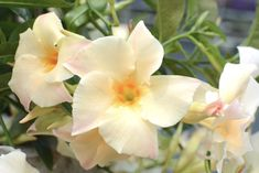 Monrovia's Sun Parasol® Apricot Mandevilla details and information. Learn more about Monrovia plants and best practices for best possible plant performance. Flowering Vines, Container Gardening, Gardening Trends, Plants, Annual Flowers, Fairy Garden, Plant Magic, Plant Catalogs, Sun Parasol