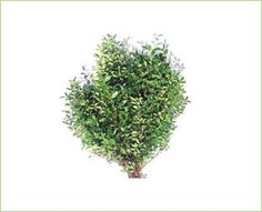 Boxwood - B.C Greens - Greens, Foliages and Branches - Flowers by category   Sierra Flower Finder