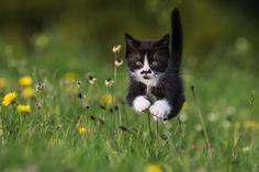 leaping tuxedo kitten with dandelions