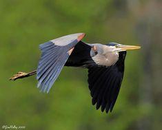Great Blue Heron #BirdsofPrey #BirdofPrey #Bird of Prey
