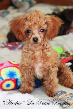 Our handsome teacup, tiny toy, toy poodle males