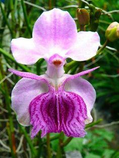 la señorita orquídea
