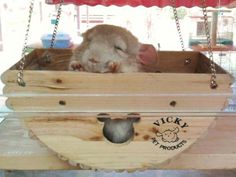 This wooden swinging toy/hideout is amazing. I love the sleepy chinchilla inside too. :)