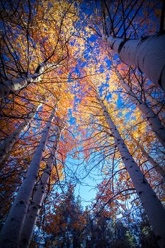 Birch trees looking up