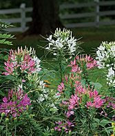 Cleome are so easy to grow and they reseed and come back stronger every year. Hummingbirds love them.