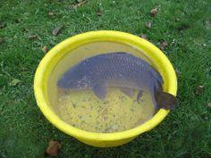Government prepares ban on live carp sales
